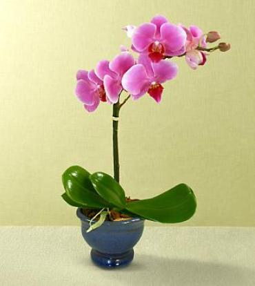 Happy Wishes Orchid Plant