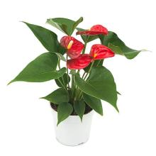 Red Anthurium standard