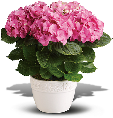 Happy Hydrangea (Assorted Colors) Plant
