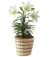 Easter Lily Plant Standard