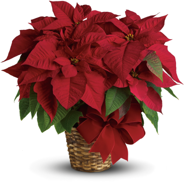 Red Poinsettia 6""