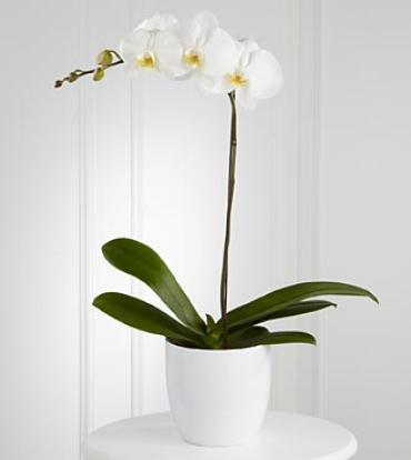 Single Orchid     (Assorted colors) Plant