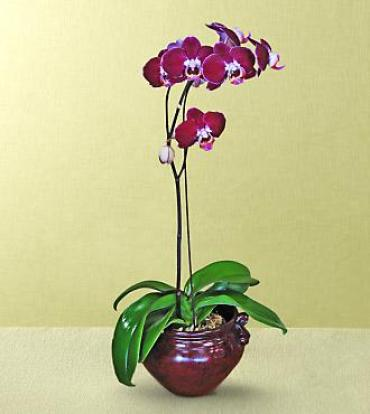 Deep Waters Orchid Plant