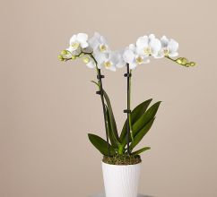 Orchid Plant (Other Colors Avail.)