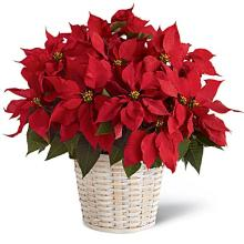 Red poinsettia Large