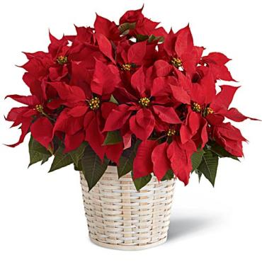 Red poinsettia 10""