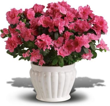 Pretty Azalea(Assorted Colors)