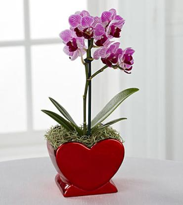 full-of-love-orchid-plant   (pick up only)